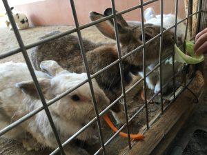 エサを食べるウサギ