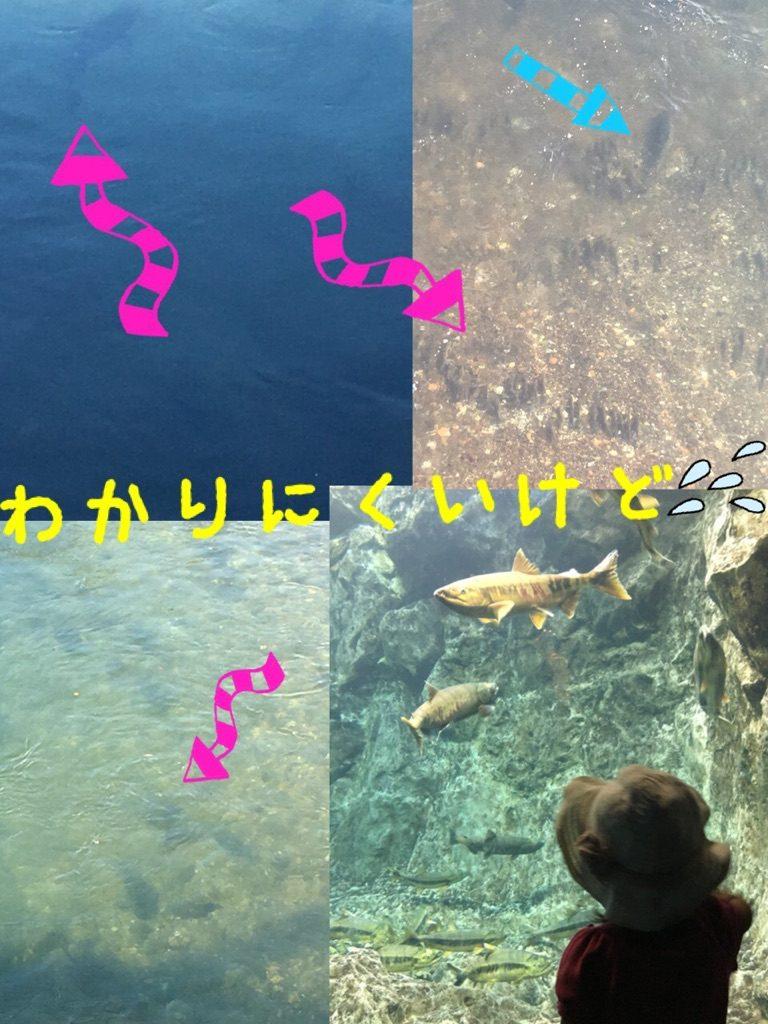 千歳川の鮭