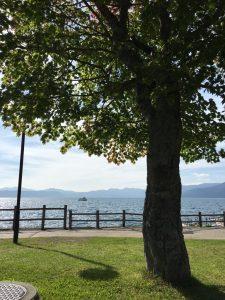 支笏湖の木
