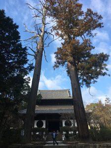 宝福寺杉の木の高さ
