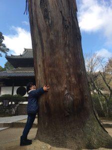 宝福寺杉の幅