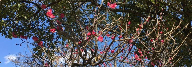 園庭の梅の花