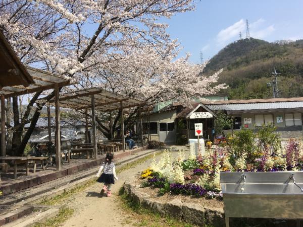 安富牧場桜