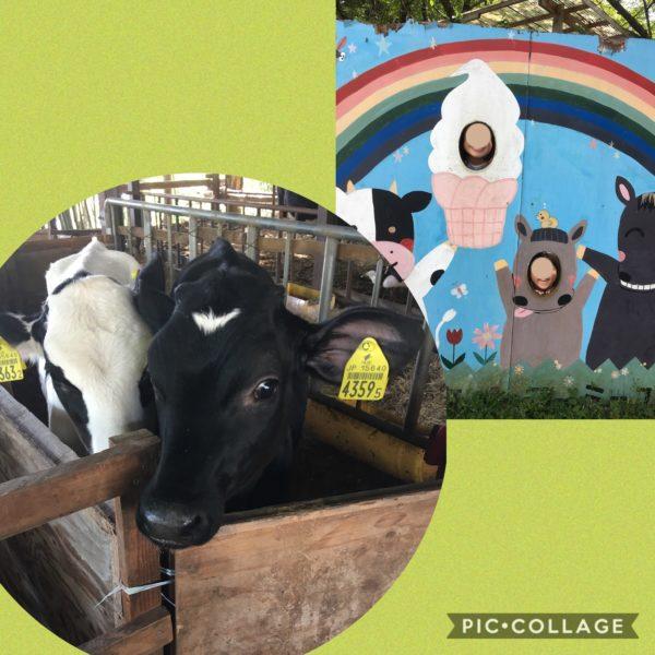 安富牧場子牛
