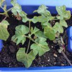 次女の植木鉢