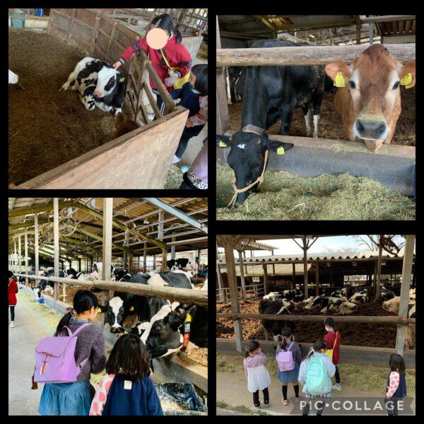 安富牧場の牛